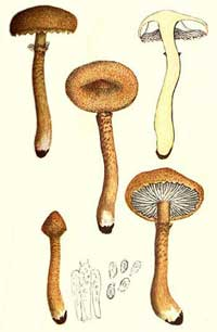 Cystoderma amianthinum
